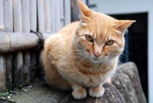 [08夏-日本] 江之島(江ノ島),好多的貓!