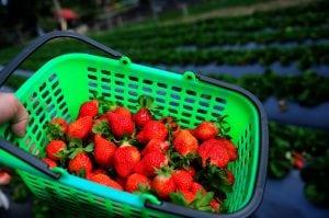 現在大湖的草莓又肥又紅又香啊!-三訪幸福菓子