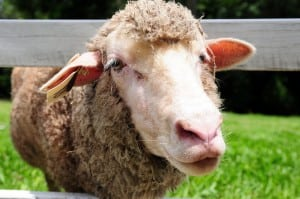 綠光森林-有原野放牧的綿羊喔