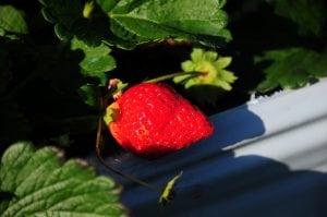 大湖採草莓 @ 吳家高架草莓園