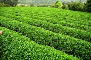 茶裏王北茶之旅 - 三水茗園瞭解種茶採茶